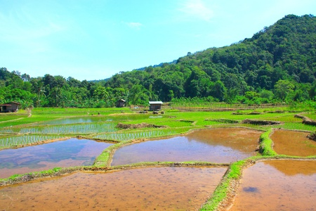 Paddy field view at Kiulu, Tuaran, Sabah, Malaysia photo