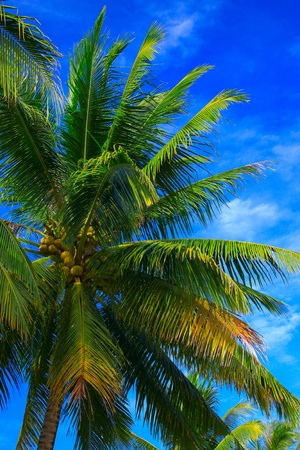 Tropical coconut with blue background at Kinarut Beach, Kota Kinabalu, Sabah, Malaysia photo