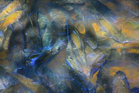 kangal: Massage fish at Luanti Village River, Ranau, Sabah, Malaysi