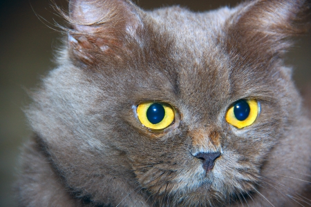 Portrait of persian cat photo