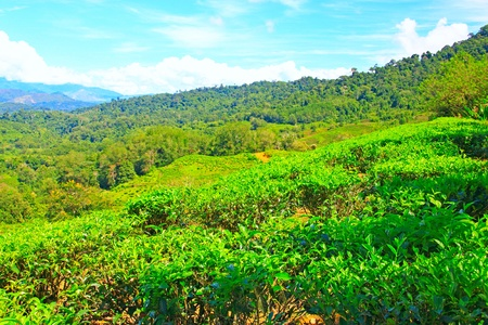 Panoramic view of tea plantation at Ranau, Sabah, Malaysia Stock Photo - 13519910
