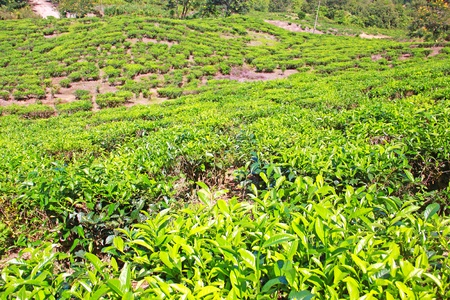 Panoramic view of tea plantation at Ranau, Sabah, Malaysia photo