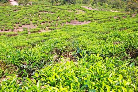 Panoramic view of tea plantation at Ranau, Sabah, Malaysia Stock Photo - 13519924