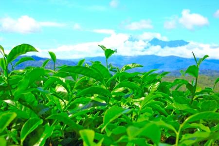Panoramic view of tea plantation at Ranau, Sabah, Malaysia photo