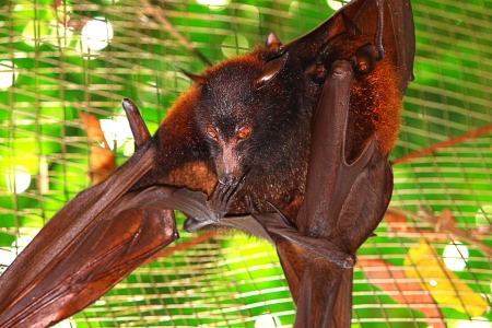 eyes looking down: Bat hanging on cage