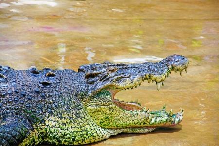 sandakan: Borneo crocodile at Crocodile Farm Sandakan, Sabah, Malaysia