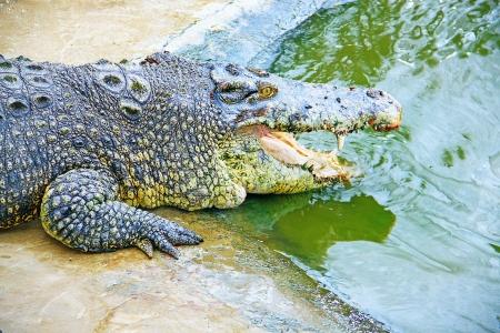 Borneo crocodile at Crocodile Farm Sandakan, Sabah, Malaysia