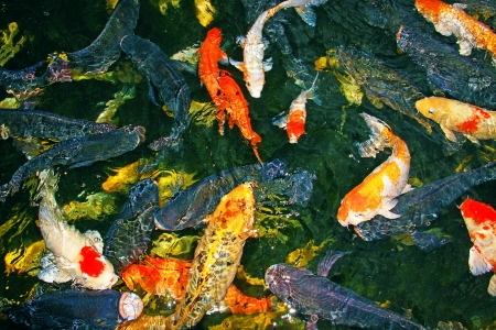 Poissons Koi color� au Crocodile Farm Sandakan, Sabah photo