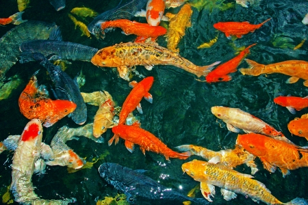 Colorful Koi fish at Crocodile Farm Sandakan, Sabah Stock Photo - 13996385