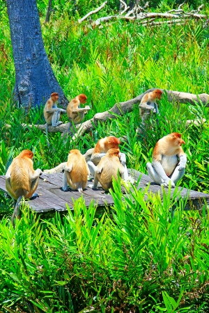 A group of proboscis monkey having lunch time at Labok Bay Sandakan, Sabah, Malaysia