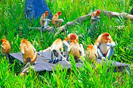 sandakan: A group of proboscis monkey having lunch time at Labok Bay Sandakan, Sabah, Malaysia