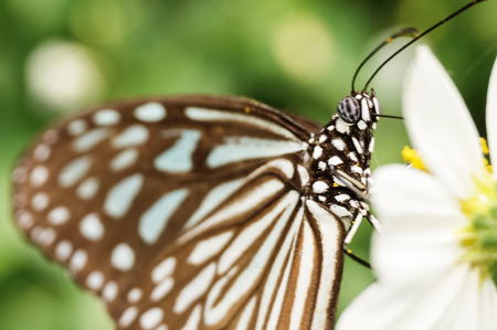 nymphalidae: a butterfly collecting nectar on flower