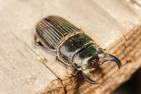 closeup beetle on the brown wood