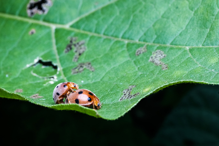 couple of beetle mating on leaf