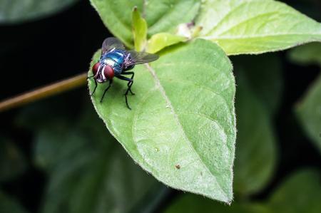 close up of common house fly on leaf Zdjęcie Seryjne