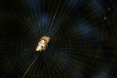 lince rojo: Cerca de tiro de araña lince Foto de archivo
