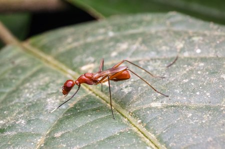 macro close up view of red ant