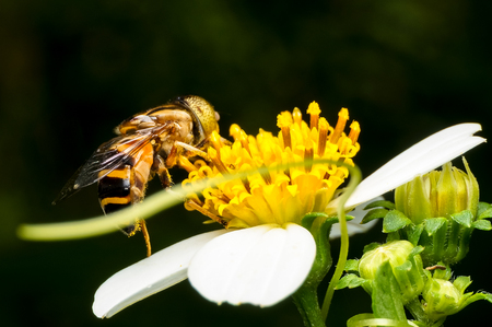 Hoverflies are hovering or sucking nectar at flowers