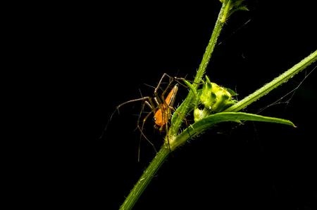 lince rojo: Lynx Spider en la familia Oxyopidae.