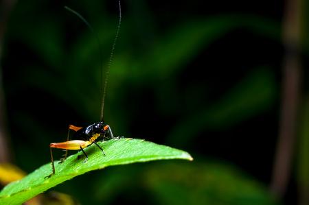 eye ball: close up shot of a cricket