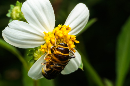 close up shot of a hoverfly sucking nectar on flower Stock Photo