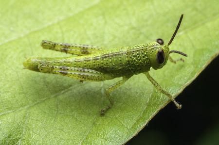 Grasshopper  Orthoptera  Caelifera Stock Photo