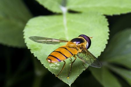 Hoverflies Stock Photo