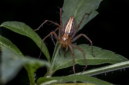 lince rojo: Lynx Spider in Oxyopidae family