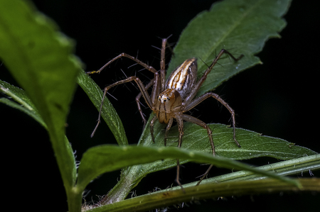 Lynx Spider in Oxyopidae family