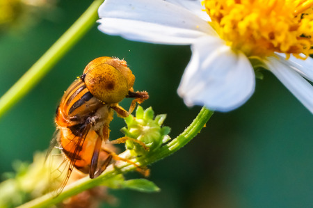 hoverfly in nature