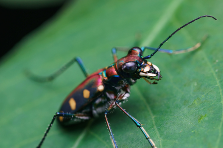 tiger beetle in nature Imagens
