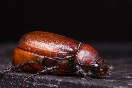 Beetles in nature ,Rhino beetle (Dynastinae)