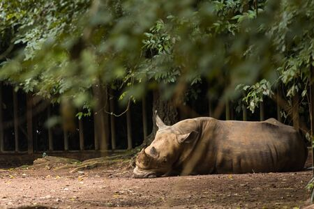 Southern white rhinoceros in zoo malacca, malaysia Stock Photo