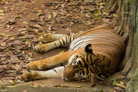 tiger in the zoo malacca, malaysia