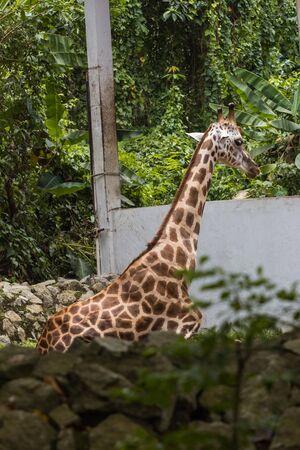 closeup view of giraffe in zoo malacca, malaysia Archivio Fotografico - 131005142