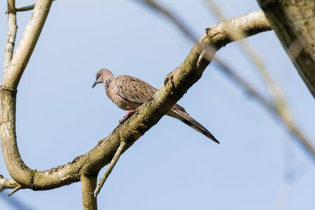 closeup view of a Spotted Dove (Spilopelia chinensis) in malaysia Standard-Bild