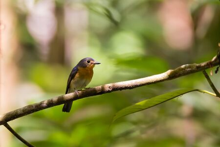 closeup shot of a beautiful pale brown with yellow feathers on its chest bird perching on curve stick in nature, manificent female Indochinese Blue flycatcher