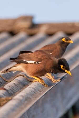 closeup view of a Common Myna bird (Acridotheres tristis) in nature 版權商用圖片
