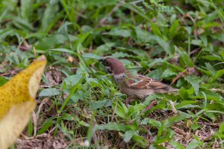 closeup shot of a eurasian tree sparrow (Passer montanus) is a passerine bird in the sparrow family