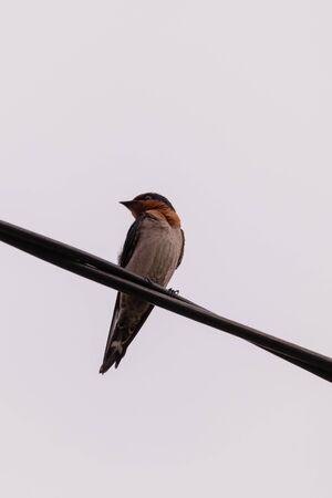 closeup shot of a colorful barn swallow bird with brilliant blue and purple feathers perched on a electric wire