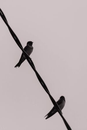 closeup shot of a colorful barn swallow bird with brilliant blue and purple feathers perched on a electric wire Фото со стока