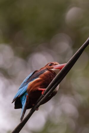 closeup shot of a White-throated kingfisher (Halcyon smyrnensis) in nature