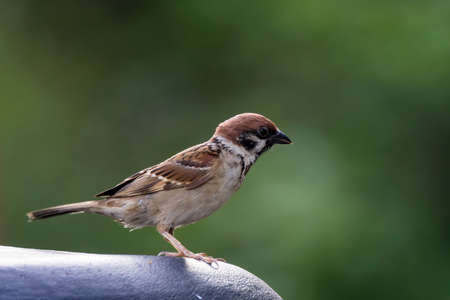 closeup shot of a common house sparow in nature