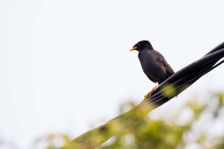 closeup shot of a common myna in nature