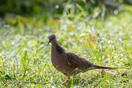 closeup view of a spotted dove in nature