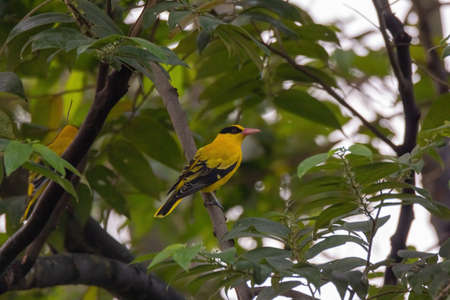closeup view of a black-naped oriole in nature Stock Photo