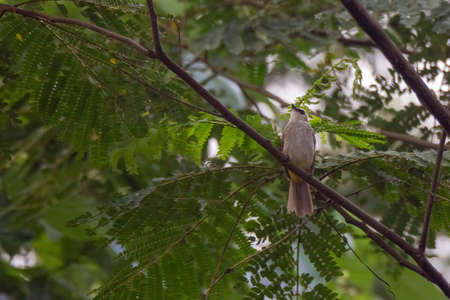 closeup view of yelow-vented bulbul in nature Stock Photo