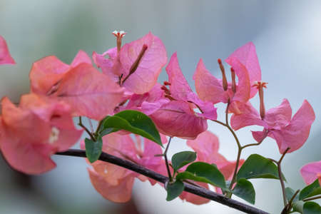 closeup view of pink bougainvillea flowers in rural area