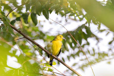 Common Iora (Aegithina tiphia) perched on tree branch looking for fruits in natural habitat Stock Photo