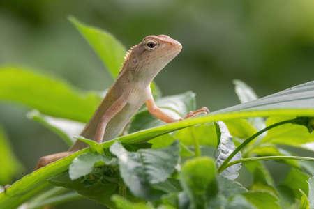 closeup shot of a oriental garden lizard in nature Stock Photo